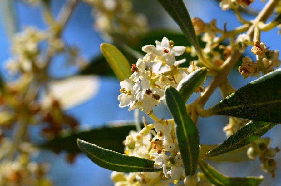 12 Fiore d'olivo