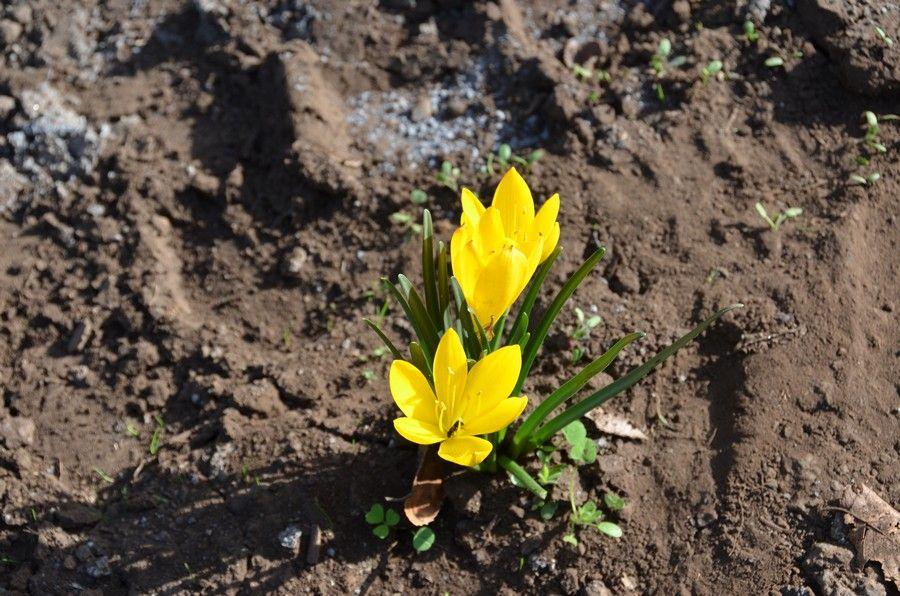 17 Fiore di zafferano dell'Etna