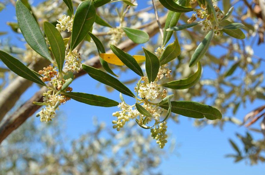 19 Fioritura olivo