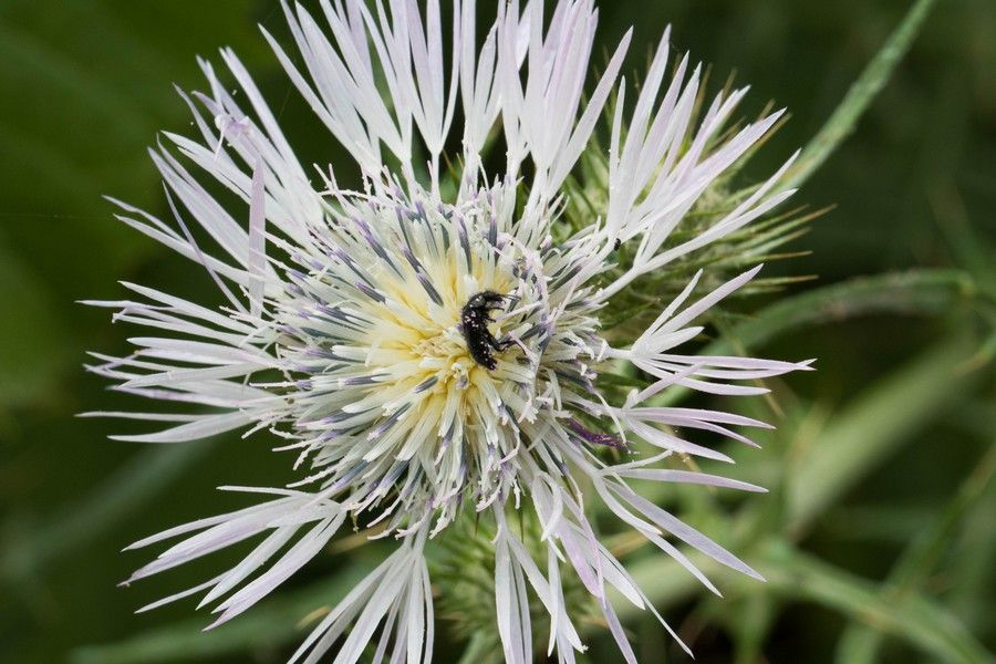 Silybum marianum con insetto impollinatore