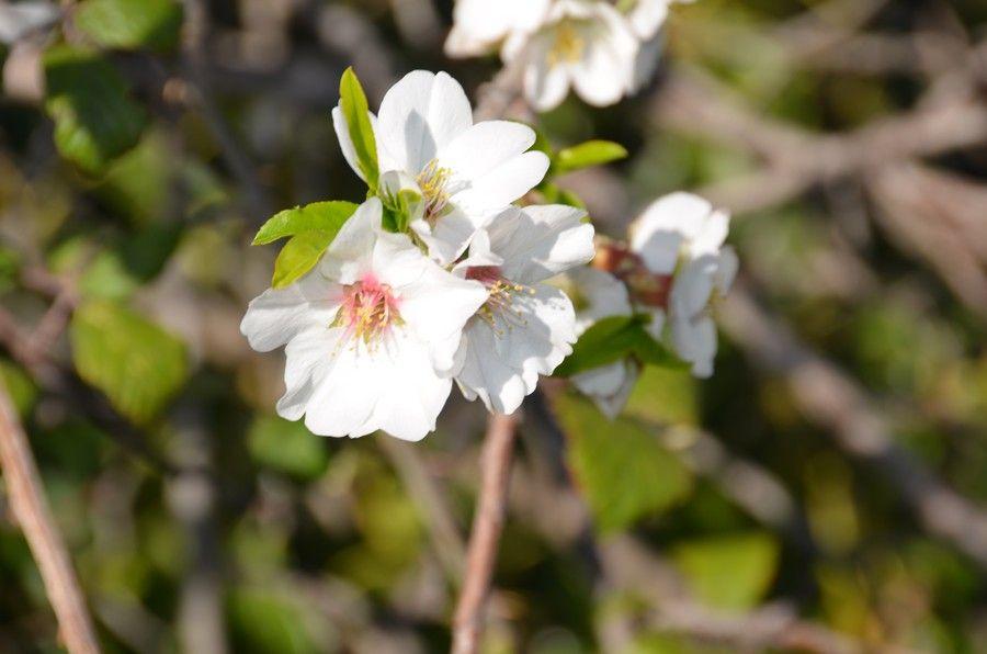 fiore di ciliegio dell'Etna